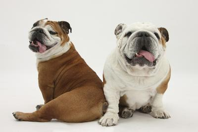 Two Bulldogs, Back to Back-Mark Taylor-Photographic Print