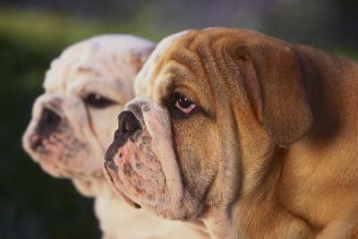 Two Bulldogs-DLILLC-Photographic Print