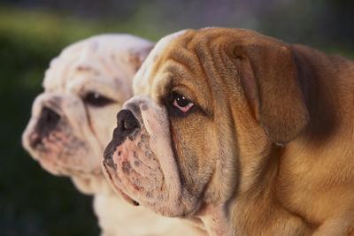 https://imgc.artprintimages.com/img/print/two-bulldogs_u-l-pzre4b0.jpg?p=0