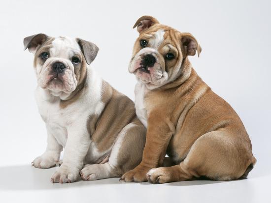 Two BullPuppies, Sitting, Studio Shot--Photographic Print