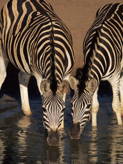 Two Burchell's Zebra (Equus Burchelli) Drinking, Mkhuze Game Reserve, South Africa, Africa-Ann & Steve Toon-Photographic Print
