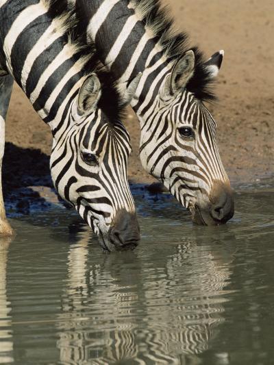 Two Burchell's Zebra, Equus Burchelli, Drinking, Mkhuze Game Reserve, South Africa-Ann & Steve Toon-Photographic Print