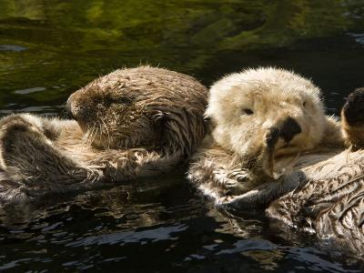 Two Captive Sea Otters Floating Back to Back-Tim Laman-Photographic Print