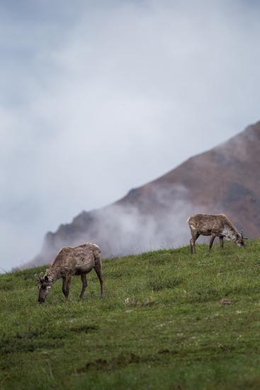 Two Caribou, Rangifer Tarandus, Graze in Denali National Park-Erika Skogg-Photographic Print