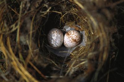 Two Carolina Wren (Thryothorus Ludovicianus),Eggs in their Nest-Brian Gordon Green-Photographic Print