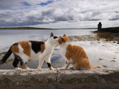 Two Cats Greet on a Wall Overlooking the Bay in Shapinsay-Jim Richardson-Photographic Print