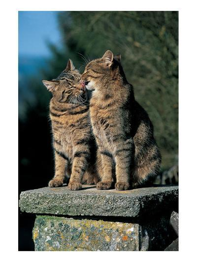 Two Cats On A Wall--Art Print