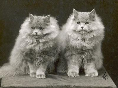 Two Cats Sitting Together with a Lot of Fur Between Them Photographic Print  by
