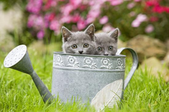 Two Chartreux Kittens in Watering Can--Photographic Print