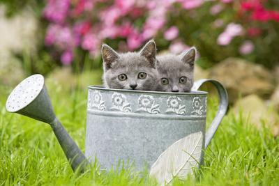 https://imgc.artprintimages.com/img/print/two-chartreux-kittens-in-watering-can_u-l-q1067pl0.jpg?p=0