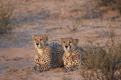 Two Cheetah (Acinonyx Jubatus)-James Hager-Photographic Print