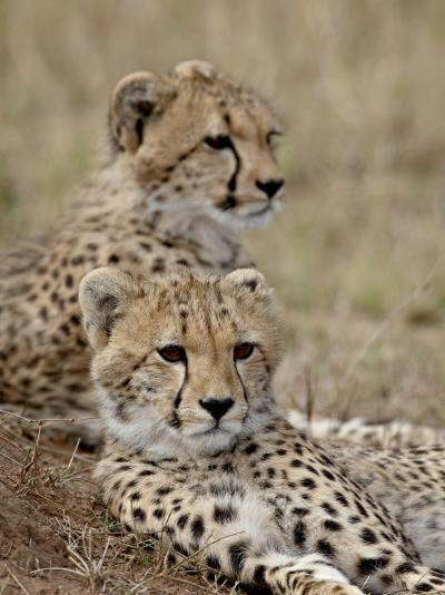 Two Cheetah Cubs, Masai Mara National Reserve, Kenya, East Africa, Africa-James Hager-Photographic Print