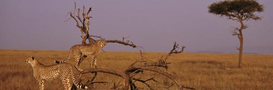 Two Cheetahs in the Wild, Africa--Photographic Print
