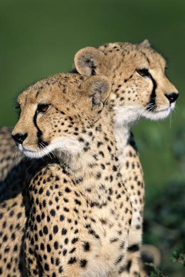 Two Cheetahs-Paul Souders-Photographic Print