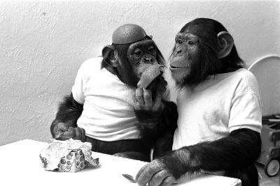 Two Chimpanzees celebrating Easter-Staff-Photographic Print