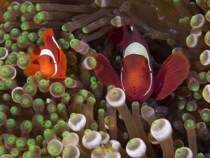 Two Clownfish Among Anemone Tentacles, Raja Ampat, Indonesia