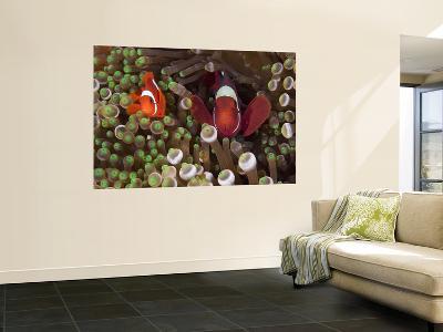 Two Clownfish Among Anemone Tentacles, Raja Ampat, Indonesia--Wall Mural