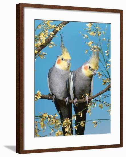 Two Cockatiels, Males (Nymphicus Hollandicus) Australia-Reinhard-Framed Photographic Print