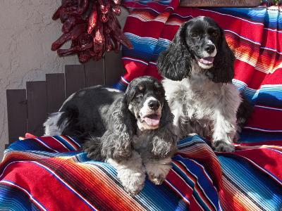 Two Cocker Spaniels Together on a Mexican Blanket, New Mexico, USA-Zandria Muench Beraldo-Photographic Print