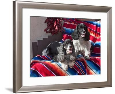 Two Cocker Spaniels Together on a Mexican Blanket, New Mexico, USA-Zandria Muench Beraldo-Framed Photographic Print