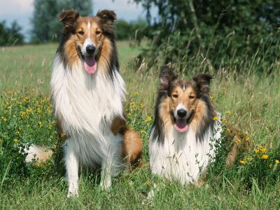 Two Collie Dogs-Petra Wegner-Photographic Print