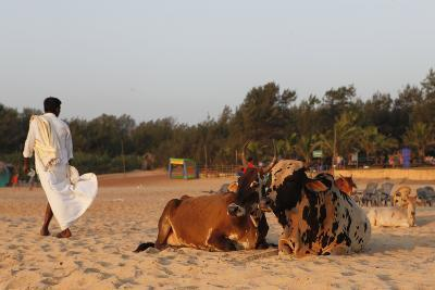 Two Cows, Bos Taurus, Resting on the Sand at Baga Beach-Jill Schneider-Photographic Print