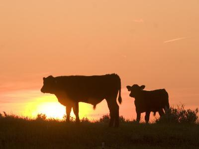 Two Cows Standing Silhouetted Against an Orange Sunset-Phil Schermeister-Photographic Print