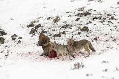 https://imgc.artprintimages.com/img/print/two-coyotes-canis-latrans-feed-on-a-live-bighorn-sheep-ovis-canadensis-that-they-took-down_u-l-pyy64m0.jpg?p=0