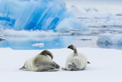 Two Crabeater Seals Lying on an Ice Floe in Grandidier Channel, Antarctica-Ralph Lee Hopkins-Photographic Print