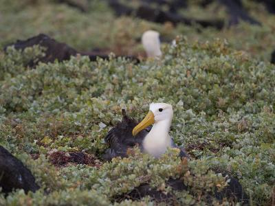 Two Critically Endangered Waved Albatrosses on Espanola Island-Joel Sartore-Photographic Print
