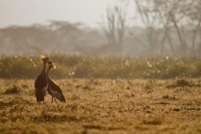 Two Crowned Cranes, Balearica Pavonina, Kissing in Early Morning Mist-Robin Moore-Photographic Print