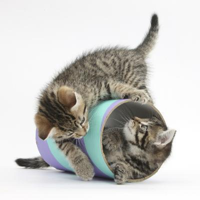 Two Cute Tabby Kittens, Stanley and Fosset, 7 Weeks, Playing with a Tube-Mark Taylor-Photographic Print