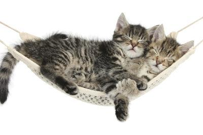 Two Cute Tabby Kittens, Stanley and Fosset, 7 Weeks, Sleeping in a Hammock-Mark Taylor-Photographic Print