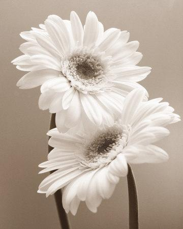 https://imgc.artprintimages.com/img/print/two-daisies_u-l-f1oeyw0.jpg?p=0