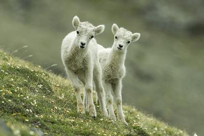 Two Dall's Sheep Lambs Walk on a High Meadow-Barrett Hedges-Photographic Print