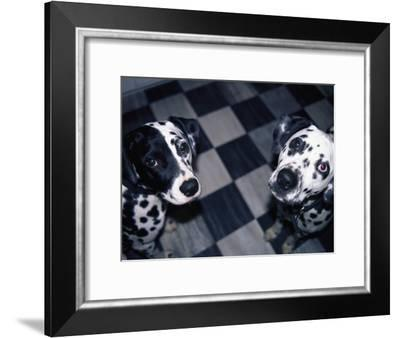 Two Dalmatians Look up from a Black and White Checkered Kitchen Floor-Nadia M. B. Hughes-Framed Photographic Print
