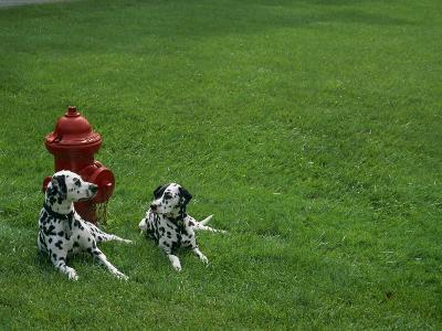 Two Dalmatians Sit on Green Grass near a Red Fire Hydrant-Nadia M^ B^ Hughes-Photographic Print