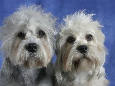 Two Dandie Dinmont Terrier Dogs-Petra Wegner-Photographic Print