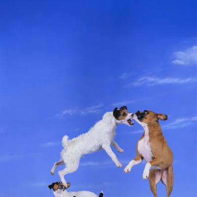 Two Dogs Playing-DLILLC-Photographic Print