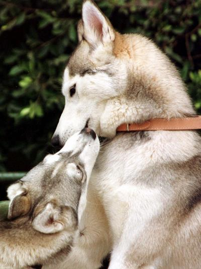 Two Dogs, Siberian Husky Breed, Play with Each Other--Photographic Print