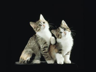 Two Domestic Cat Kittens Looking Up, UK-Jane Burton-Photographic Print