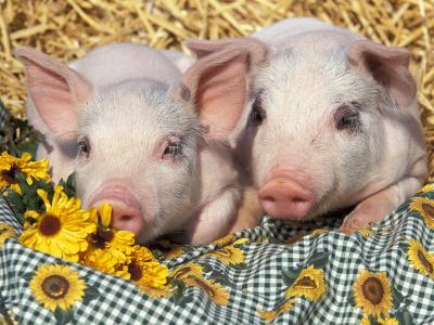 Two Domestic Piglets, Mixed-Breed-Lynn M^ Stone-Photographic Print