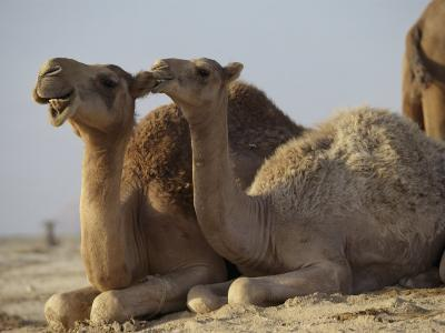 Two Dromedary Camels-James L^ Stanfield-Photographic Print