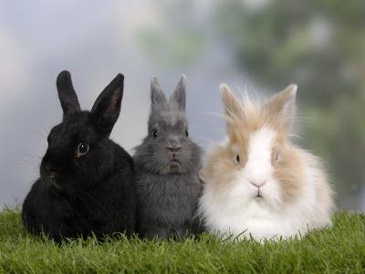 Two Dwarf Rabbits and a Lion-Maned Dwarf Rabbit-Petra Wegner-Photographic Print