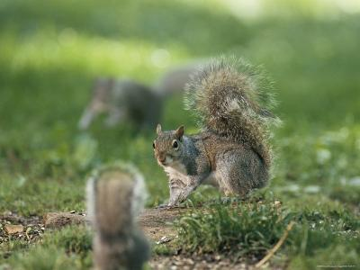 Two Eastern Gray Squirrels Confront One Another--Photographic Print