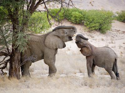 Two Elephants Lift their Trunks as They Play-Michael Polzia-Photographic Print