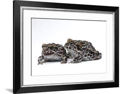 Two Endangered Juvenile Yosemite Toads, Anaxyrus Canorus-Joel Sartore-Framed Photographic Print