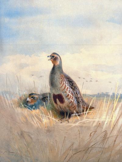 Two English Partridges, 1903-Archibald Thorburn-Giclee Print