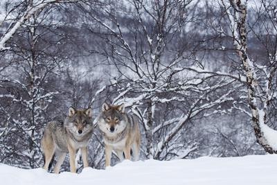 https://imgc.artprintimages.com/img/print/two-european-grey-wolves-canis-lupus-in-woodland-captive-norway-february_u-l-q13a5kf0.jpg?p=0