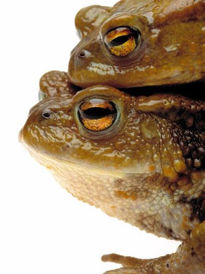 Two european toads-W^ Krecichwost-Photographic Print